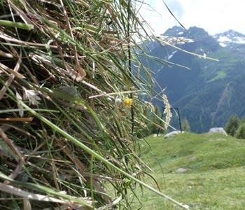 Heu aus Gräsern von unserer Hochalm - Heubad - Badl-Kultur in Südtirol - Bad Schüsslerhof